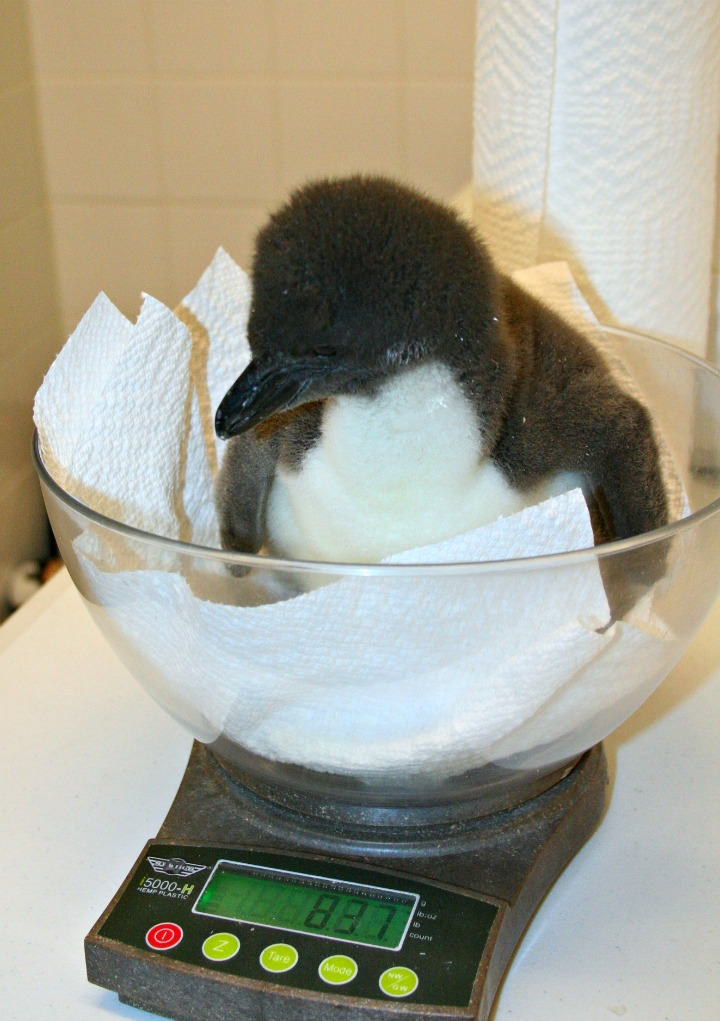 Macaroni Penguin Chick Scale 1