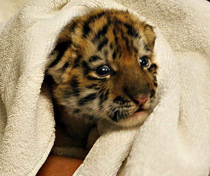 Amur Tiger Cub_Eyes Open 023 cropped