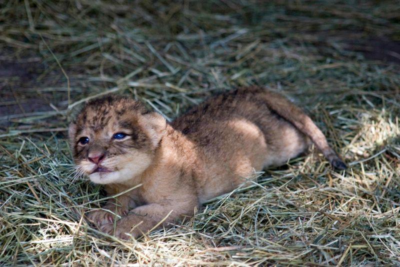 Jacksonville-Zoo-Lion-Cub2