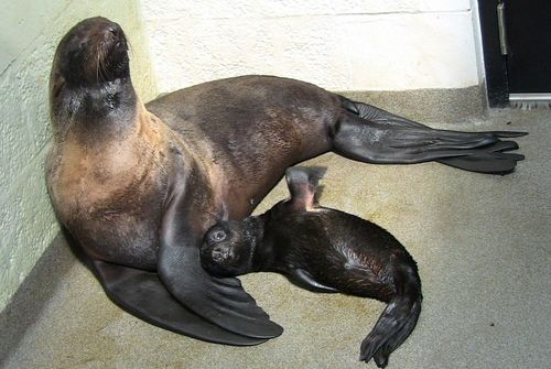 Baby Fur Seal and Mom NEAQ 2