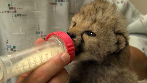 Cheetah Cub2
