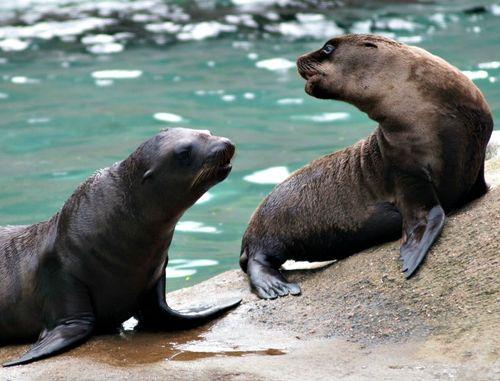 Sea lion1