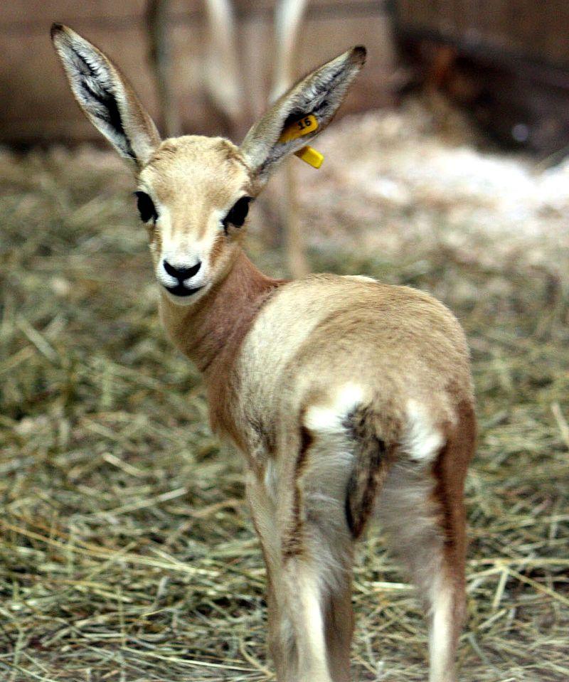 CMZ slender horned gazelle hi res 1trimmed
