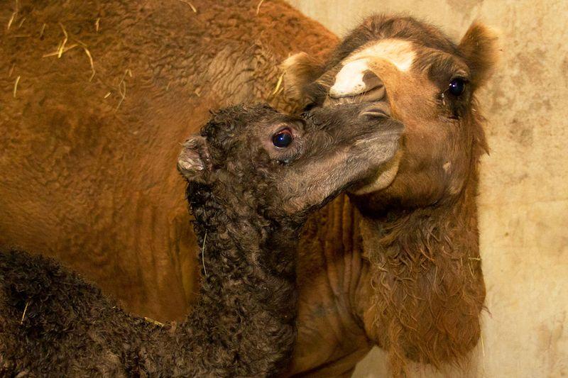 20120718_095525_Dromedario_Foto_Carlos_Nader_Zoo_SP