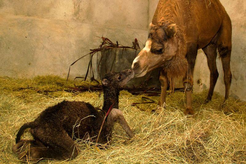 20120718_095359_Dromedario_Foto_Carlos_Nader_Zoo_SP