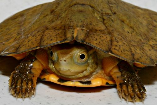Frog mouthed turtle - photo#27