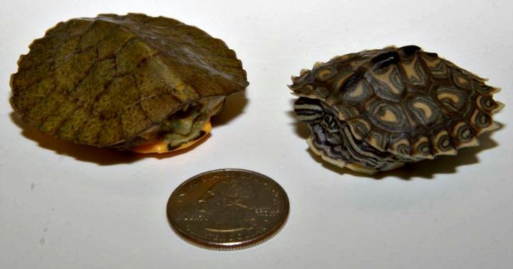 Turtles1