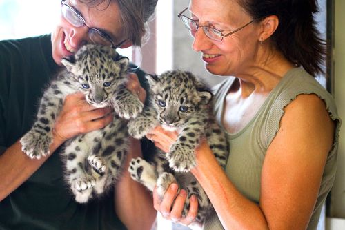 Rosamond-Gifford-Zoo-Snow-Leopards-4