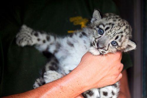 Rosamond-Gifford-Zoo-Snow-Leopards-2