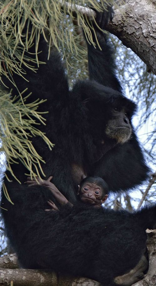 Baby Siamang and Mom at Tel Aviv Zoo