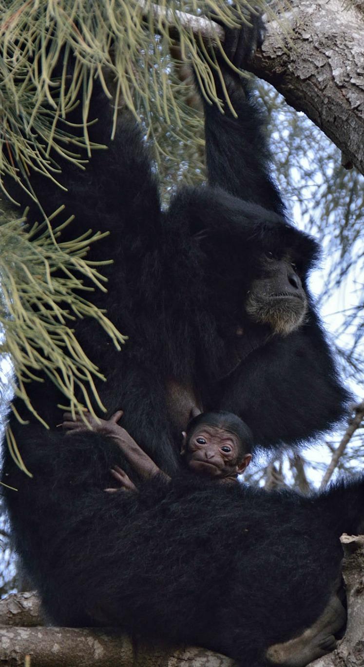 Baby Siamang and Mom at Tel Aviv Zoo