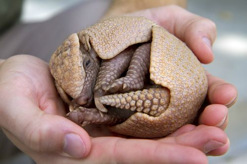 Baby Armadillo at Busch Gardens Tampa Bay 1