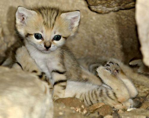 Sand Cat Kittens Zoo Tel Aviv 1