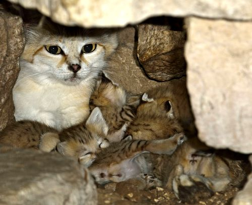 Mother Sand Cat and Her Pile of Kittens