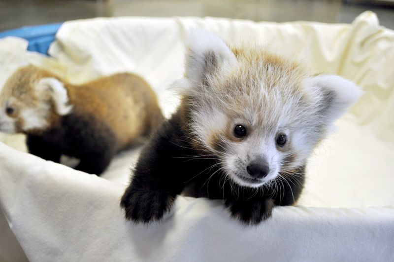 Great Plains Zoo Red Panda Cubs 1
