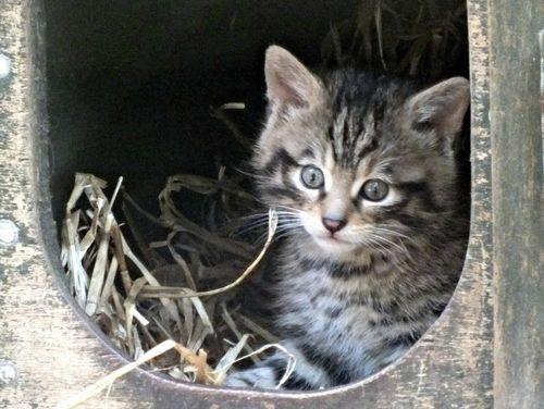Wildcat Kittens at Edinburgh Zoo 2
