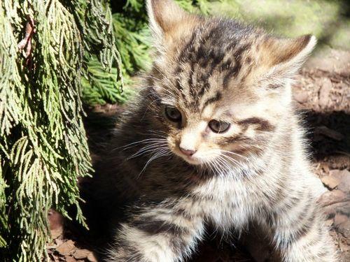 Scottish Wildcat Kitten Edinburgh Zoo