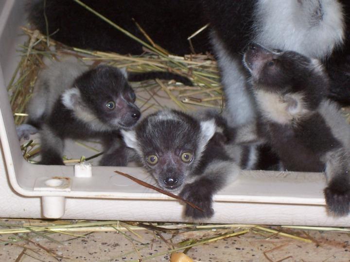Baby Ruffed Lemur Binder Park Zoo 2