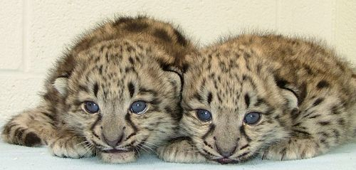 Baby Leopards