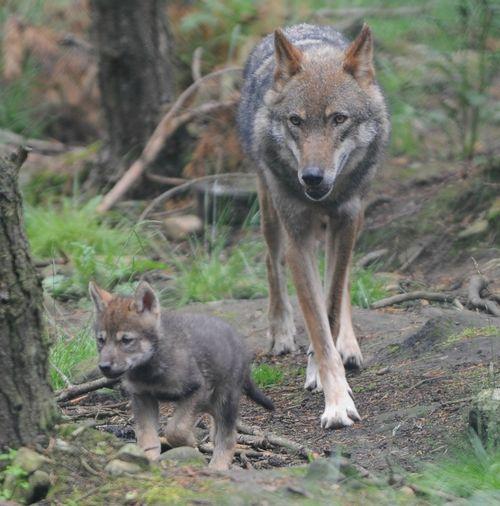 Wolf Cub1 cropped