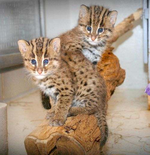 Update fishing cat kittens at smithsonian 39 s national zoo for Fish video for cats