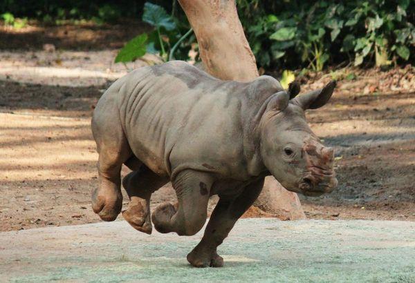 White Rhino Baby Big Bundle Of Joy For Singapore Zoo