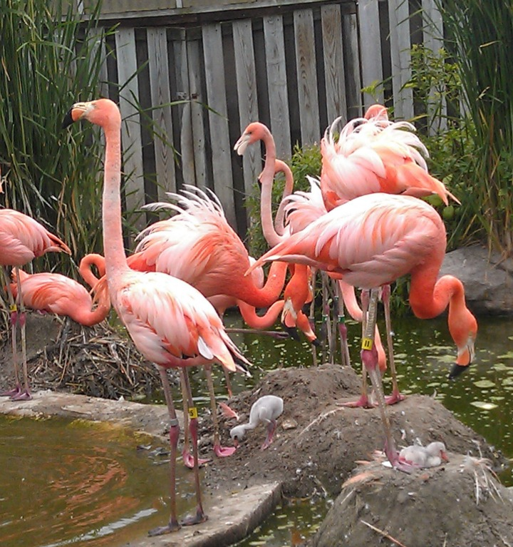 Caribbean flamingo chicks - SZ June 2012