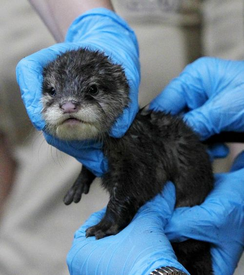ode to the olympians newborn otters get fitting names zooborns