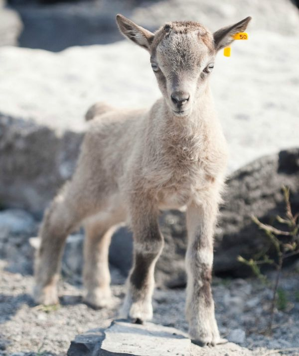 Hey Kid Markhor Baby Welcomed At Rosamond Gifford Zoo