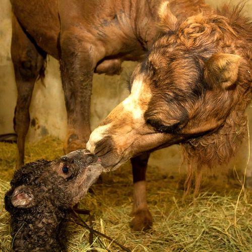20120718_095549_Dromedario_Foto_Carlos_Nader_Zoo_SP