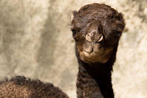 20120801_133723_Dromedario_Foto_Carlos_Nader_Zoo_SP