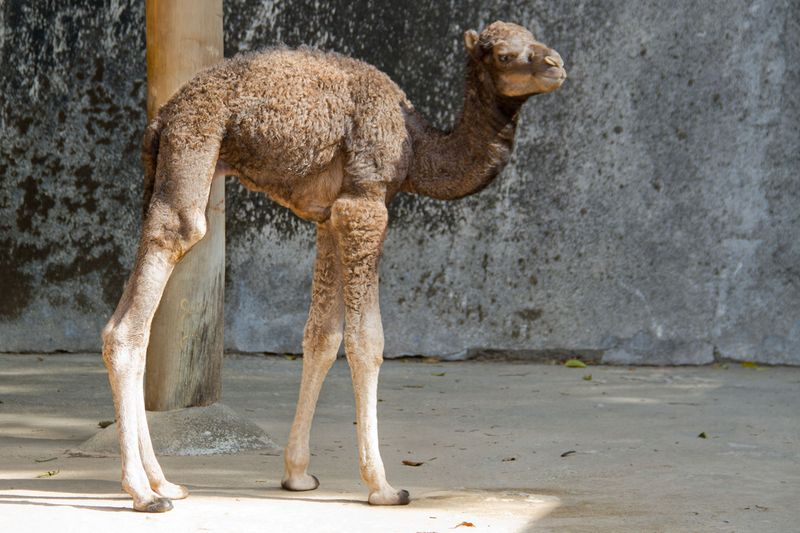 20120801_133307_Dromedario_Foto_Carlos_Nader_Zoo_SP