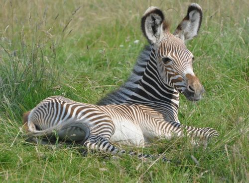 When a baby zebra reaches about one week of age, they will begin to graze. They will remain close to their mother during the first year of their life. Growing Up. By the time the foals reach one year of age, they have become independent. Zebras will reach the age of sexual maturity around 16 to 22 months.