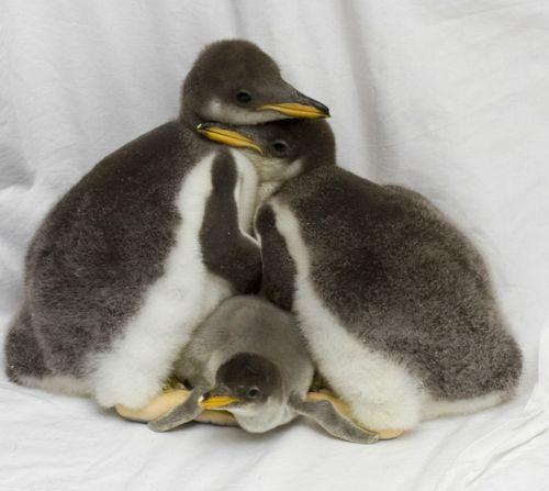 Penguins1