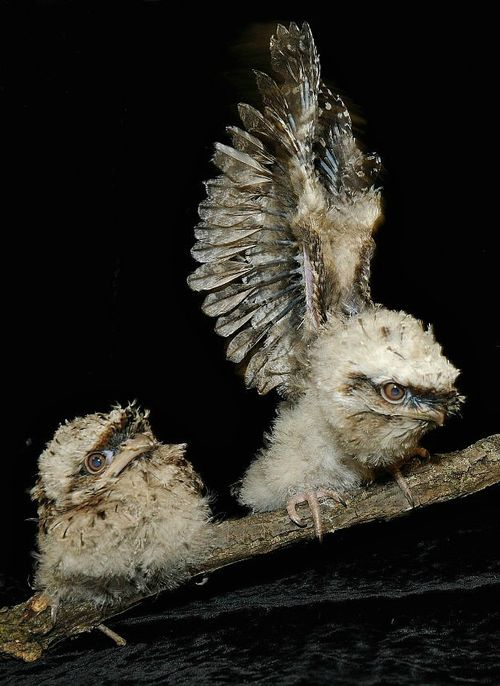 Tawny Frogmouth Chicks Brookfield Zoo 2