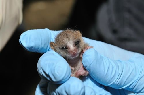 Baby Mouse Lemur Duke Lemur Center