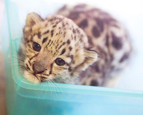 Rosamond-Gifford-Zoo-Snow-Leopards-3