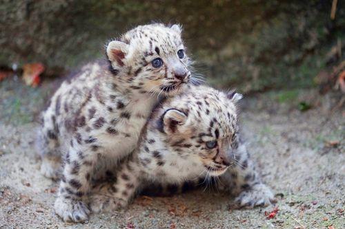 Rosamond-Gifford-Zoo-Snow-Leopards