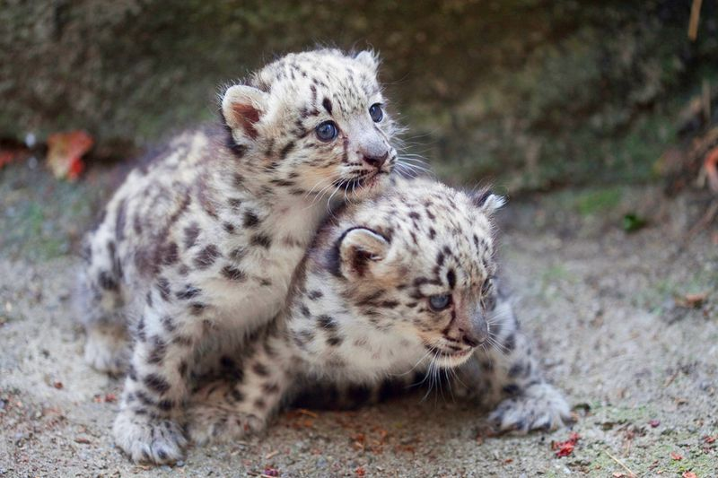 Rosamond-Gifford-Zoo-Snow-Leopards