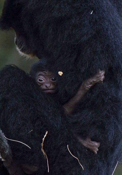 Baby Siamang Close-up Tel Aviv Zoo