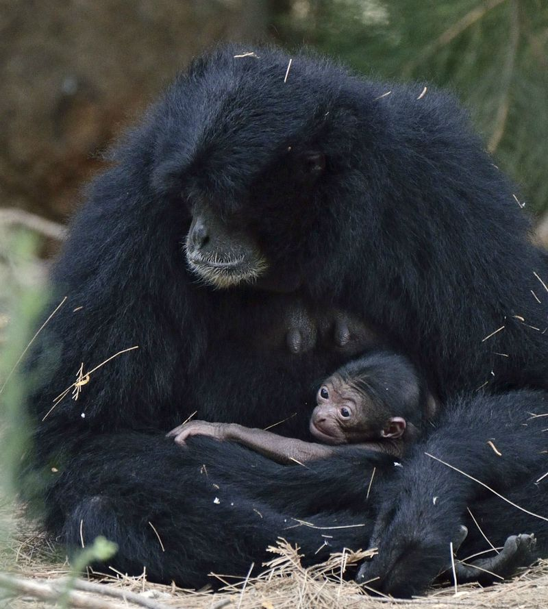 Baby Siamang at Tel Aviv Zoo