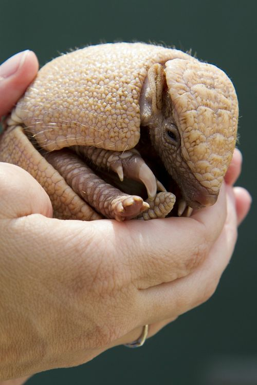 Baby Armadillo at Busch Gardens Tampa Bay 2
