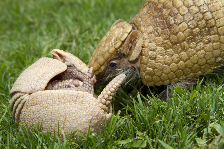 Baby Armadillo at Busch Gardens Tampa Bay 3