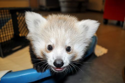 Great-Plains-Zoo-Red-Panda-Cubs-2