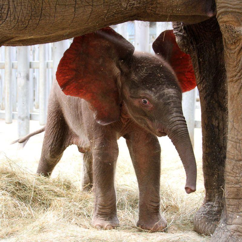 Zoo_De_Beauval_African_Elephant_3