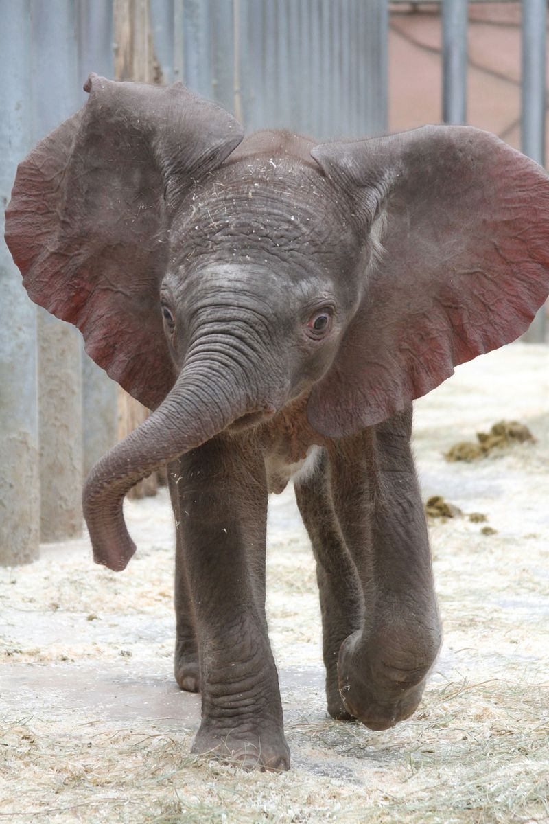 Zoo_De_Beauval_African_Elephant_4