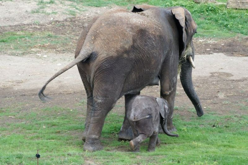 Zoo_De_Beauval_African_Elephant_11