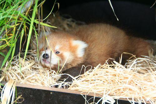 Planckendael-Red-Pandas-5