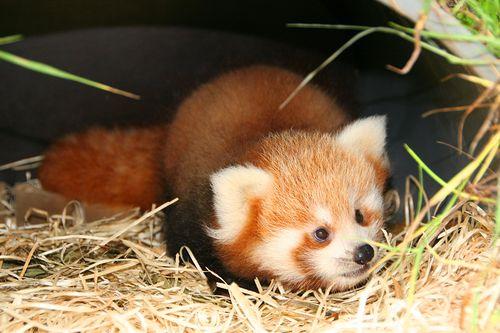 Planckendael-Red-Pandas-8