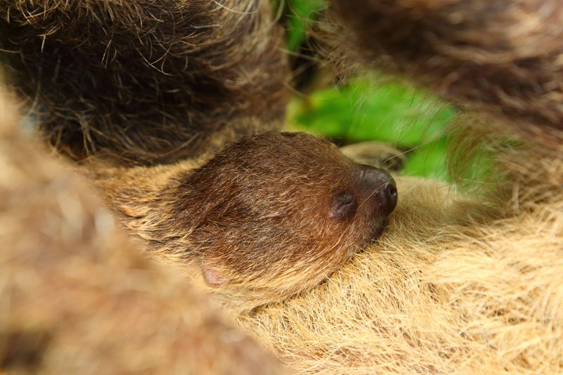 Sloth-baby-web1
